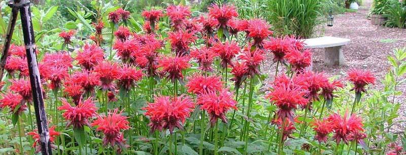 Bee balm plant1