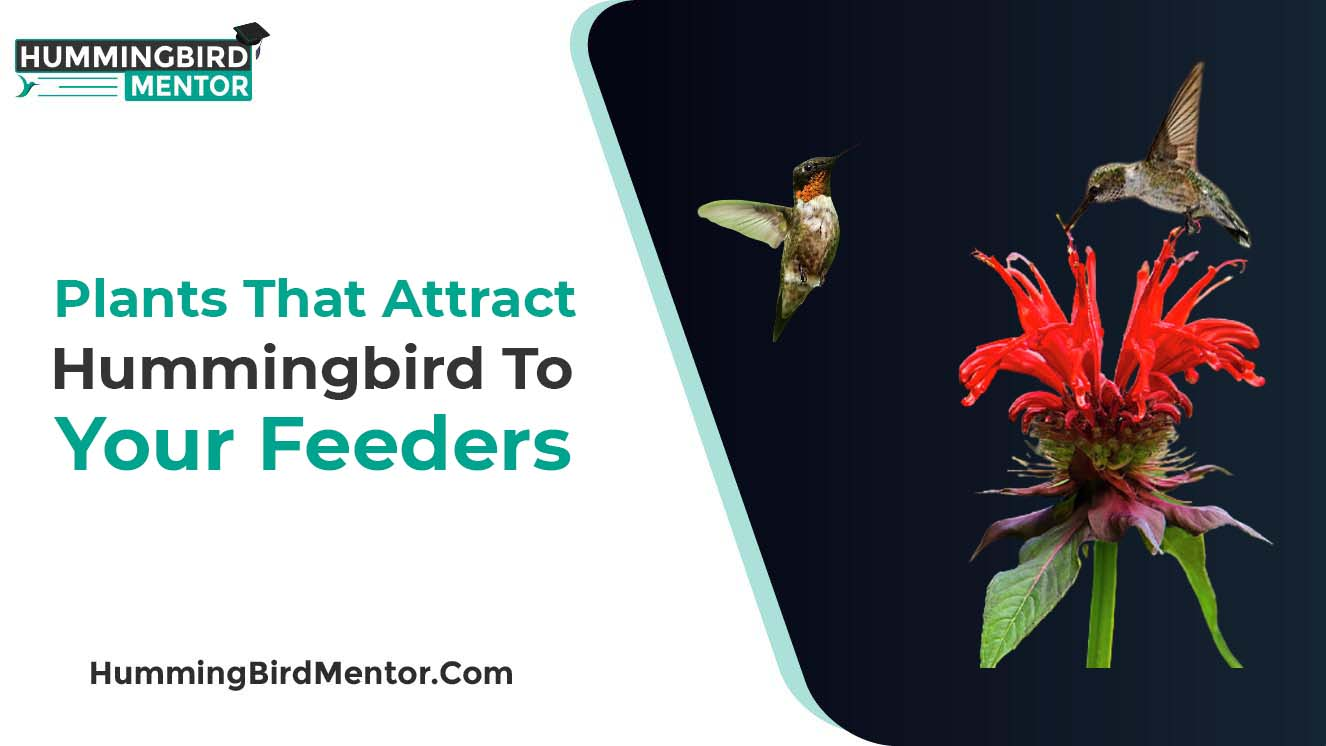 Plants that attract the hummingbirds to your feeders
